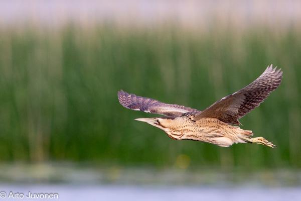 Ornitologi kuikka
